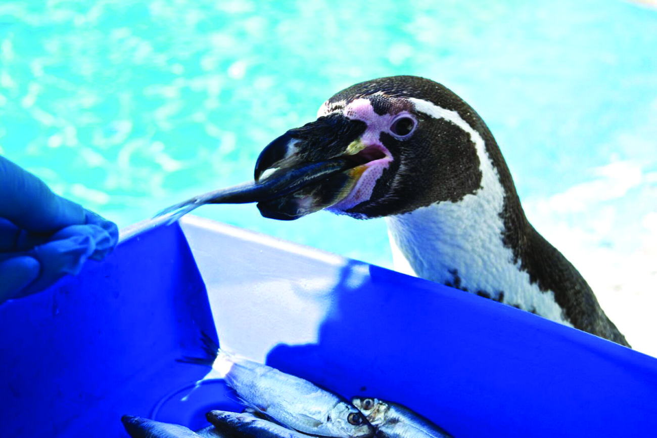 Humbolt Penguins credit Harewood House Trust and Harriet Skinner (2)